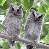 領角鴞幼鳥